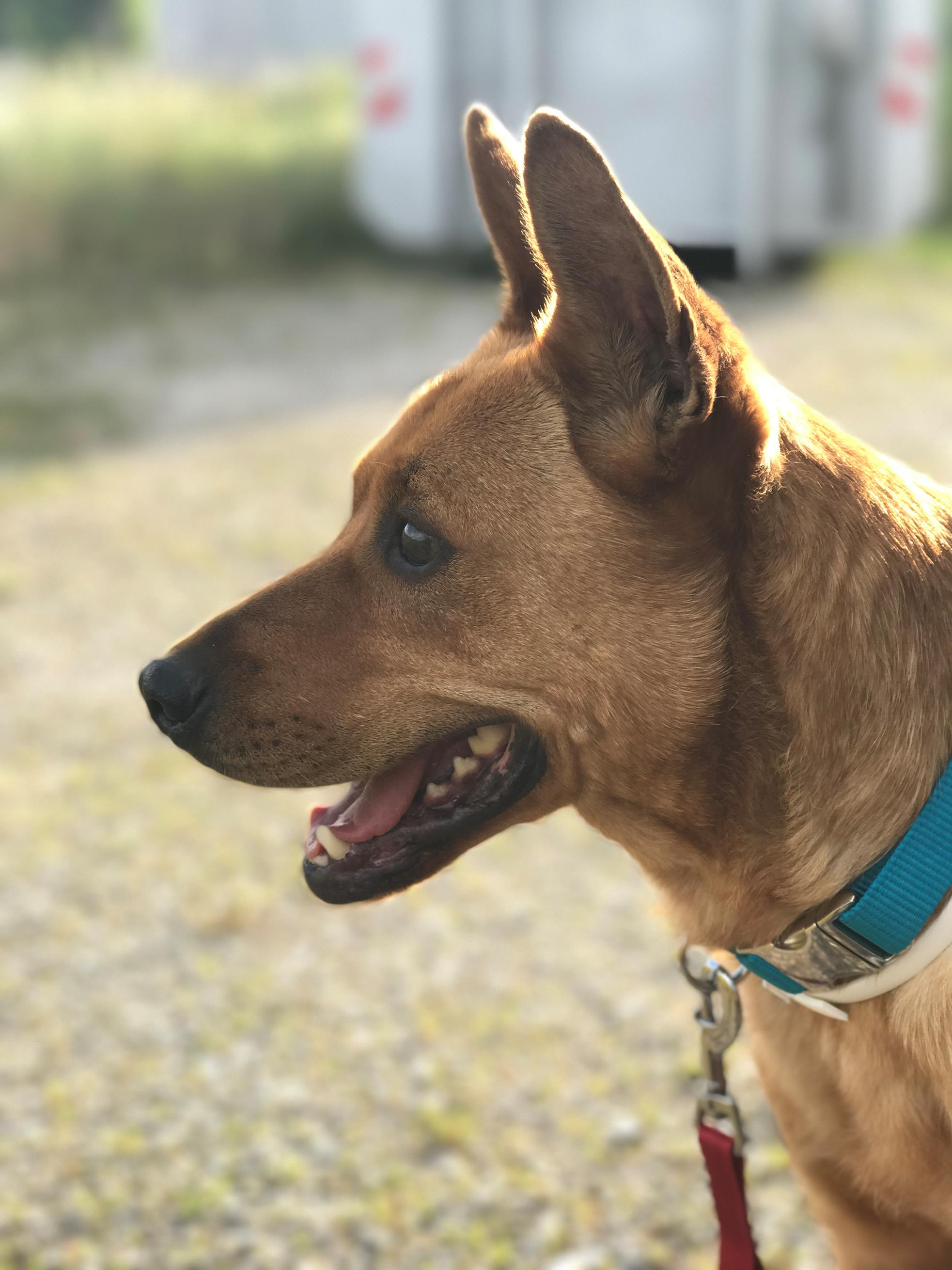 Jago-der-Kettenhund